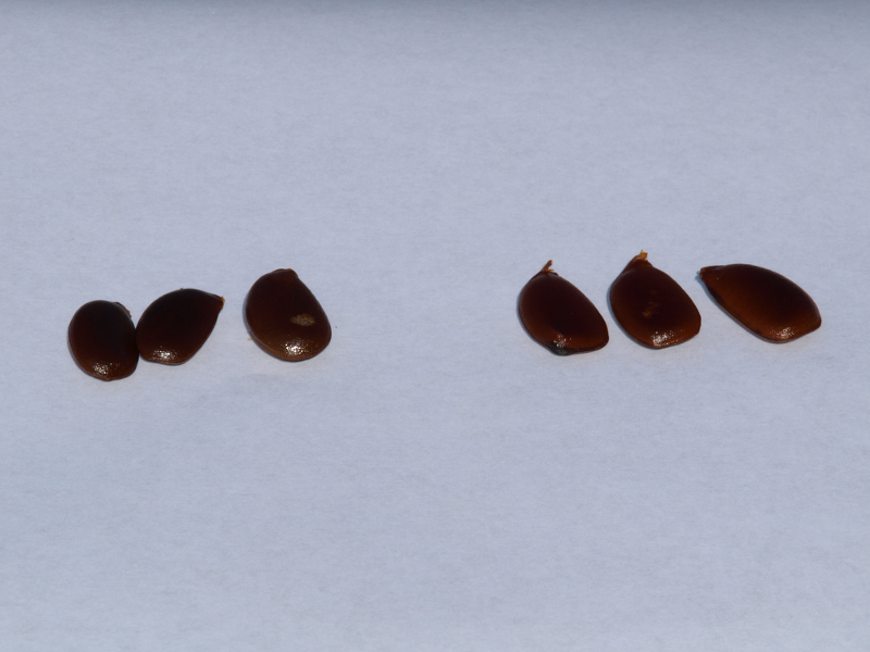 Persimmon Fruit Seeds - Uncut